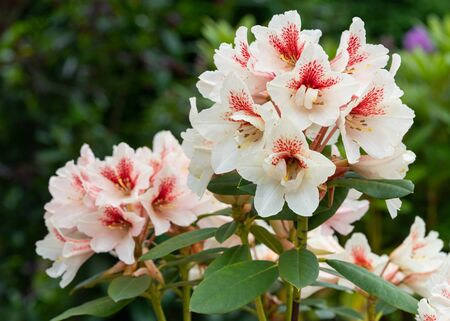 Rhododendron Hybrid Amber Kiss (Rhododendron hybride)