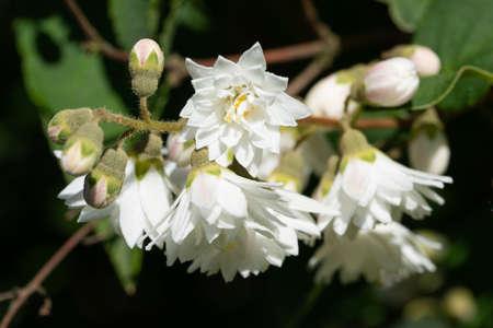 Close up image of English dogwood (Philadelphus coronarius) Stock Photo