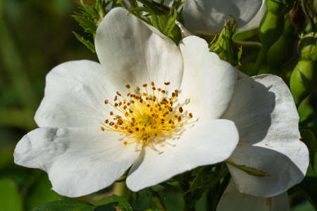 Dwarf rose (Rosa patio), bee-friendly flower of summer