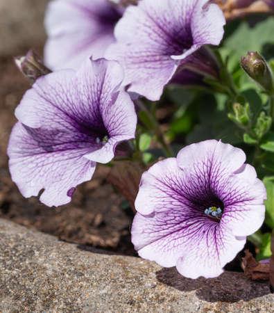 Close up image of Garden Petunia (Petunia hybrida)