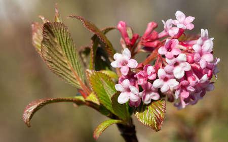 Viburnum (Viburnum farreri), flowers of the gardens
