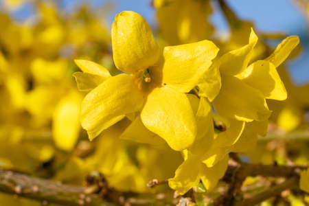 Forsythia (Forsythia × intermedia), flowers of springtime