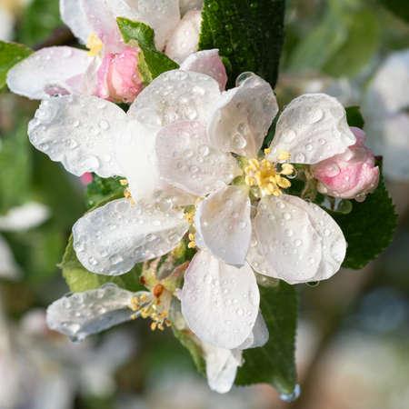 Apple tree (Malus domestica), blossoms of springtime Stock Photo - 167253311