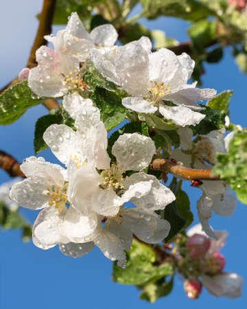 Apple tree (Malus domestica), blossoms of springtime