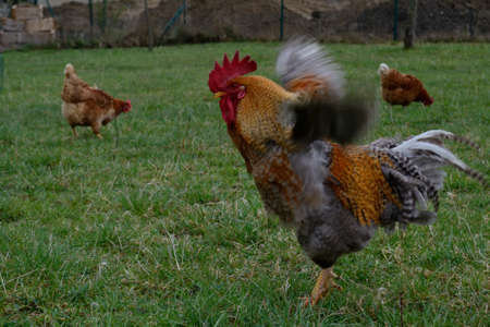 peck: colorful rooster flapping brown hens peck feed Free Range Chickens