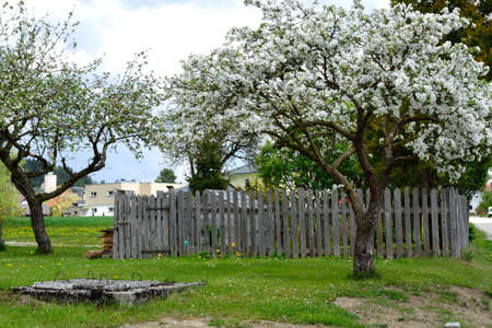 anthesis: Apple trees in front of the vegetable garden with wooden fence and old well Stock Photo