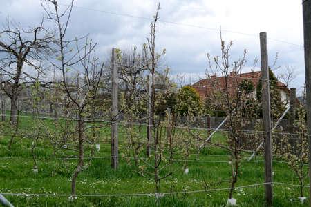 alberi da frutto: Numerosi alberi da frutto in espalier