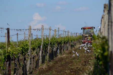traction engine: Person drives with tractor through the vineyard