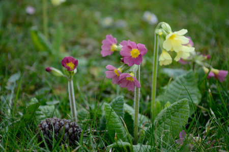 primula veris: red and yellow primroses in the garden