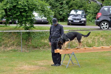 drudgery: German Shepherd poised above ladder, accompanied by dog trainer