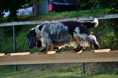 english cocker spaniel: Black and white English Cocker Spaniel Rescue Dog balancing on ladder Stock Photo