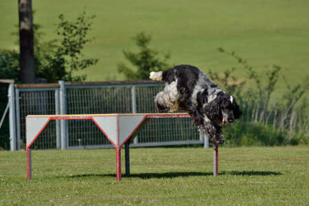 english cocker spaniel: black and white English Cocker Spaniel jumps down from the podium