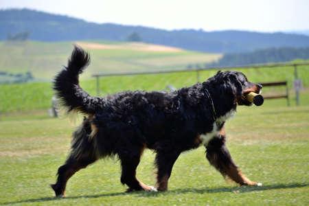 Bernese Mountain Dog retrieves an object Banco de Imagens