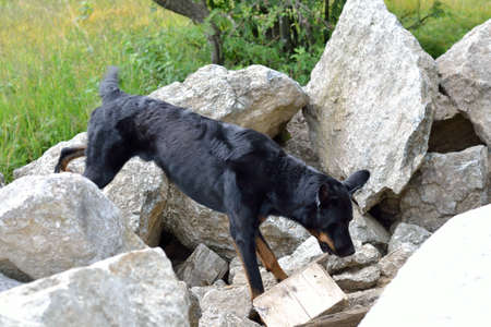 Beauceron rescue dog looking for spilled person