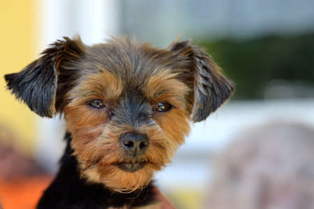 drudgery: Little Dog - Yorkshire Terrier - looks into camera