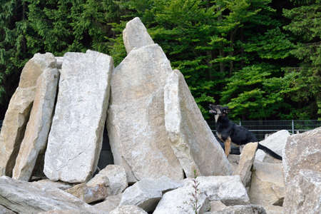 sleuth: Search dog feels missing person under rocks on Stock Photo