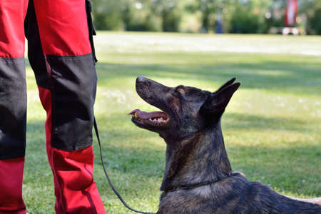 watchdog: Dutch Shepherd stands expectantly in front of its owner