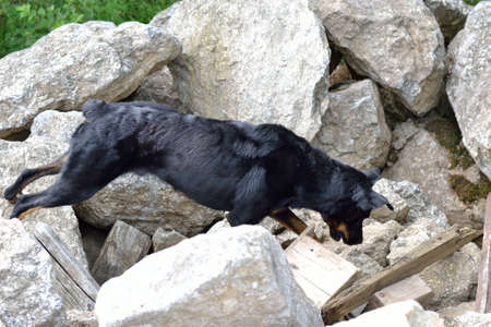 drudgery: Beauceron rescue dog looking for spilled person