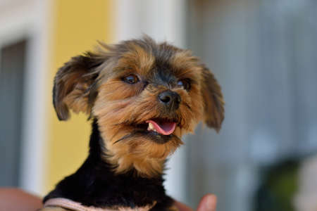 drudgery: Portrait of a little Yorkshire Terrier