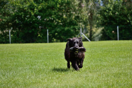 drudgery: black dog retrieves the training ground Sneaker Stock Photo