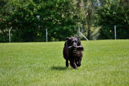 black dog retrieves the training ground Sneaker Banco de Imagens