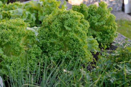 escarola: Escarola rizada y otras hierbas en el jardín Foto de archivo
