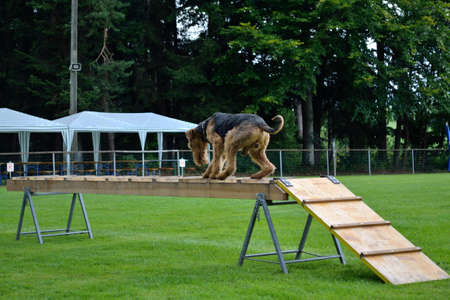 drudgery: Airdale Terrier comes in rescue dogs training over an obstacle