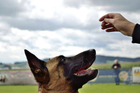 blooded: German Shepherd looks closely at the hand of the owner