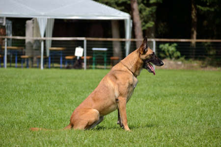 blooded: Belgian Shepherd waits sitting on command of the owner Stock Photo