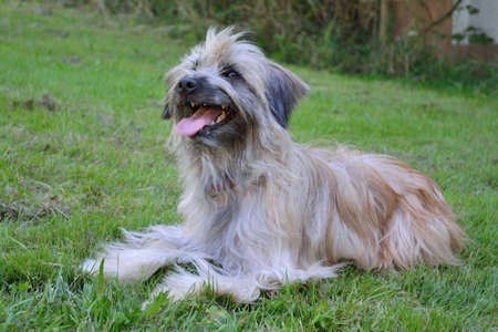 pyrenean: Long Haired Pyrenean Shepherd is panting in the grass and looks trustingly