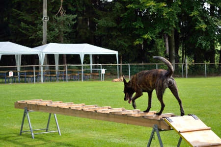 drudgery: Dutch Shepherd during training on rescue ladder