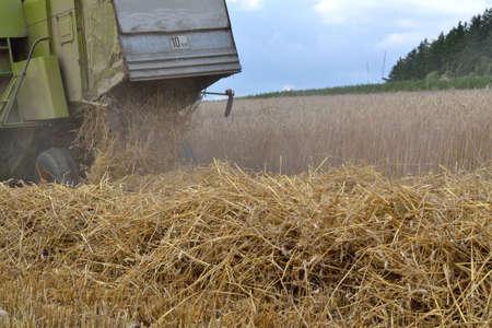 cosechadora: M�quina segadora en el cultivo de ma�z - Cortar la paja