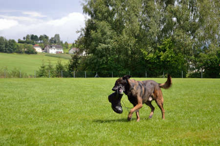 catena: German shepherd retrieves a shoe
