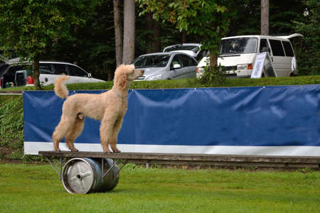 catena: Poodle mastered elegantly moving obstacle