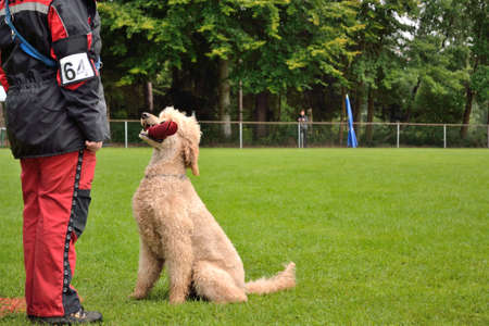 Poodle Dog retrieves the subject at examination