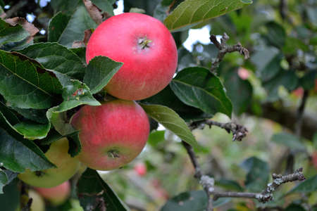 untreated: Closeup of untreated apples on the tree Stock Photo