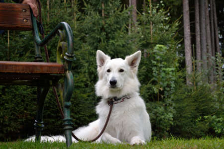 quadruped: White Shepherd is a leash in the meadow next to a bank