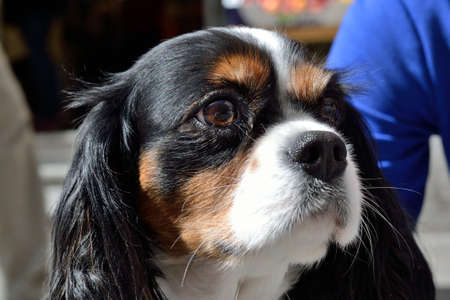 quadruped: Portrait of dog Cavalier King Charles Stock Photo
