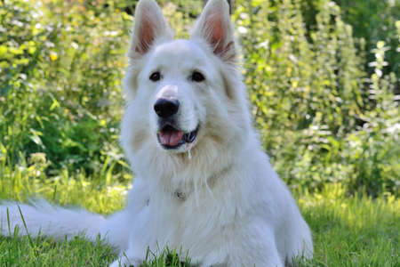 blooded: Closeup of a white shepherd dog lying in a meadow