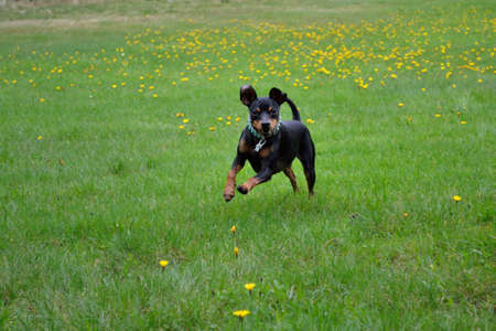 A Russian Toy Terrier runs leaping over the meadow