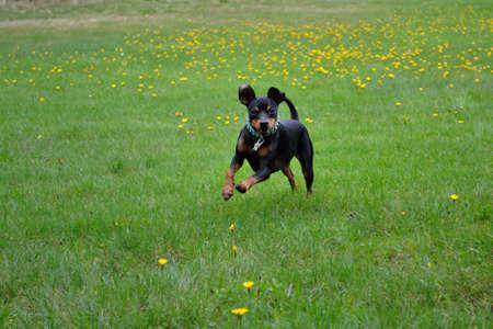 러시아 장난감 테리어는 초원 위에 뛰어 뛰어