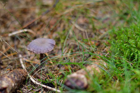 phytology: Laccaria amethystea on nutritious forest soil