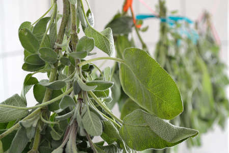 medicinal plant: Medicinal plant sage is hung out to dry