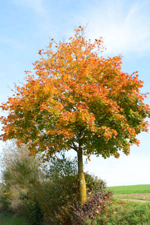 gaudy: Maple tree in autumn with colorful leaves
