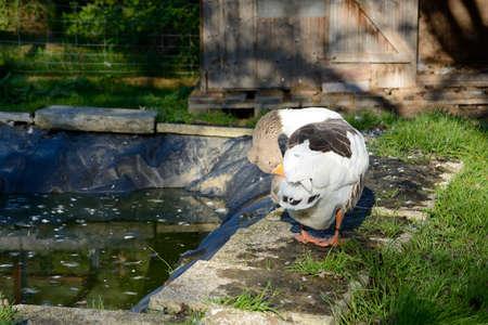 animal welfare: Species of goose in animal welfare