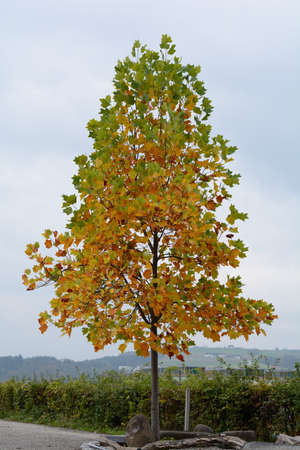gaudy: Maple tree with discolored leaves in autumn