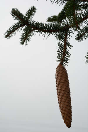 bosk: Spruce cones hanging down on a fir branch - close-up Stock Photo