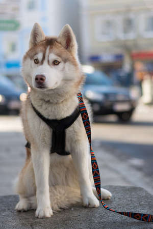 lead sled: faithful young husky waiting leash to the harness to owner