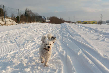 small white dog: small white dog running with flying ears in snow