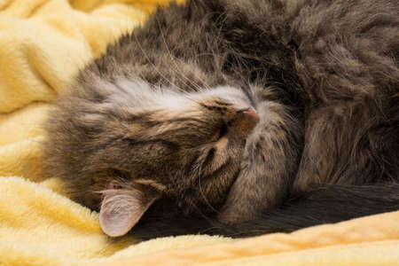 snoozing: small house cat sleeping enjoyable in yellow soft blanket